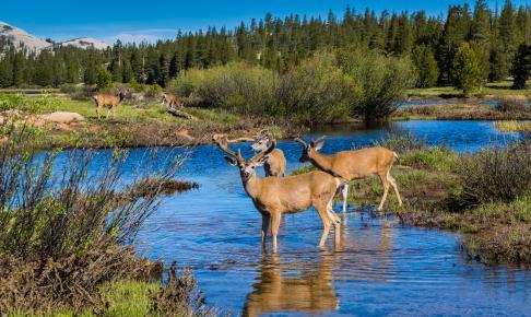 Dyrelivet i Yosemite USA