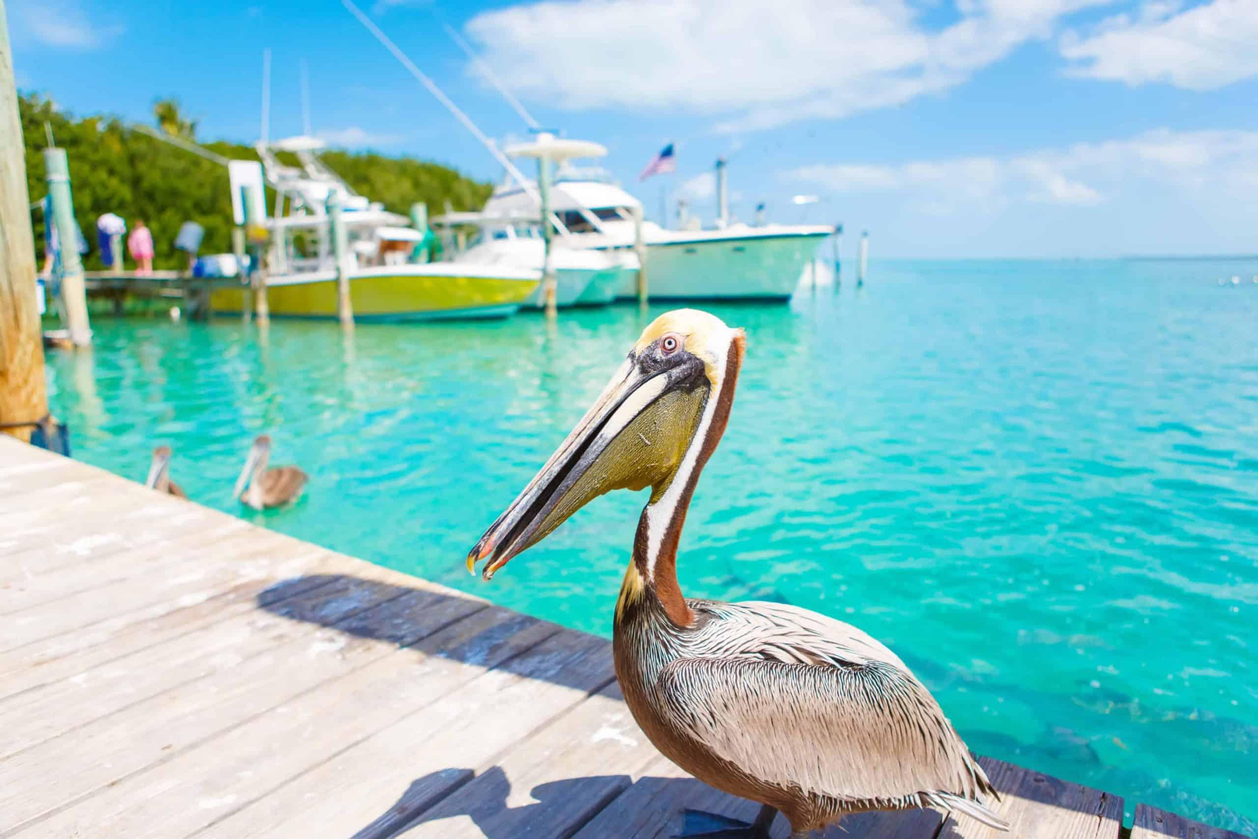 Pelikaner Key West Florida