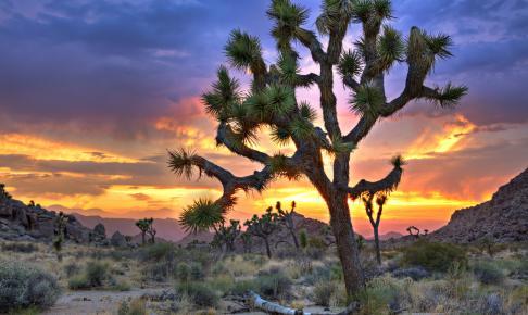 Yucca-træ i Mojave-ørkenen - Risskov Rejser