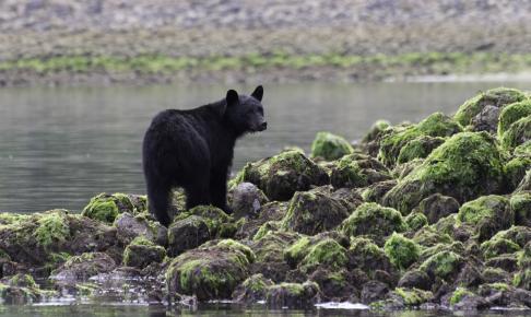 Sortbjørn i naturen - Risskov Rejser