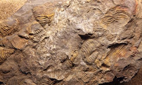 Dinosarfossiler i Drumheller