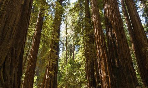 Armstrong Redwoods State Reserve - Risskov Rejser