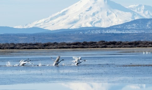 Trumpeter swans taking off in front of Mt. Shasta - Risskov Rejser