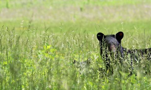 Oplev sortbjørne på din motorhomeferie i New England
