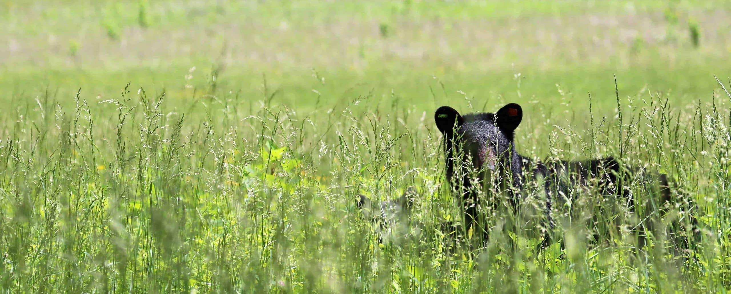 Oplev sortbjørne på din ferie i New England i USA