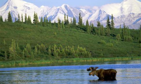Elg i Denali National Park - Alaska