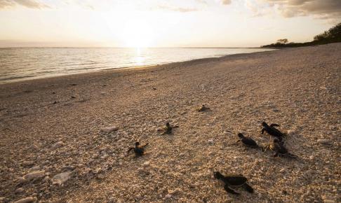 Små havskildpadde unger på Bargara strand - Risskov Rejser