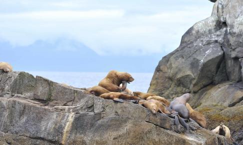 Søløver i Kenai Fjords - Risskov Rejser