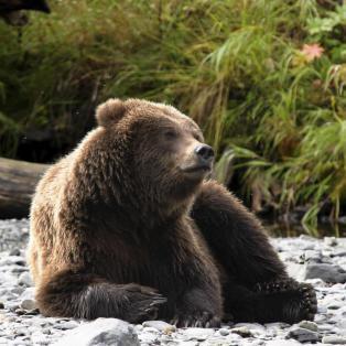 Tænksom bjørn - Alaska, USA - Risskov Rejser