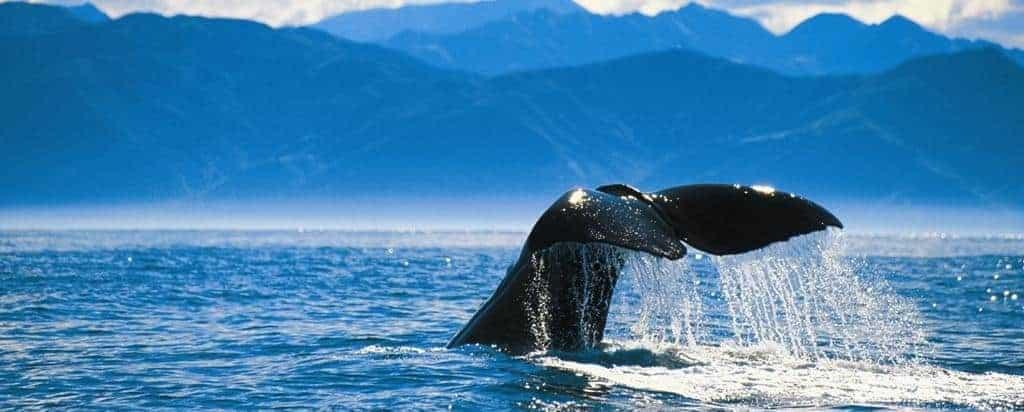 Kæmpe hval i Kaikoura - Risskov Rejser