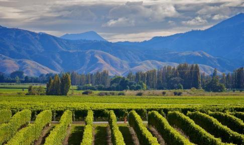 Marlborough Wine Crop - Risskov Rejser