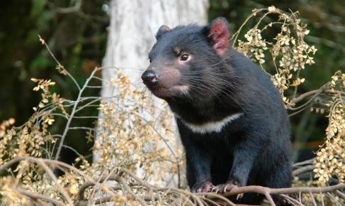 Tasmansk djævel -Risskov Rejser