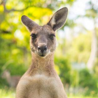 Ung kænguru kigger direkte i kameraet - Risskov Rejser
