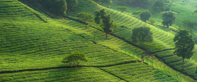 Tea plantations in early morning - Risskov Rejser