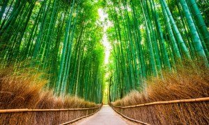 Kyoto bambus skov - Risskov Rejser