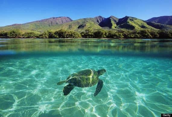 Havskildpadde på Maui