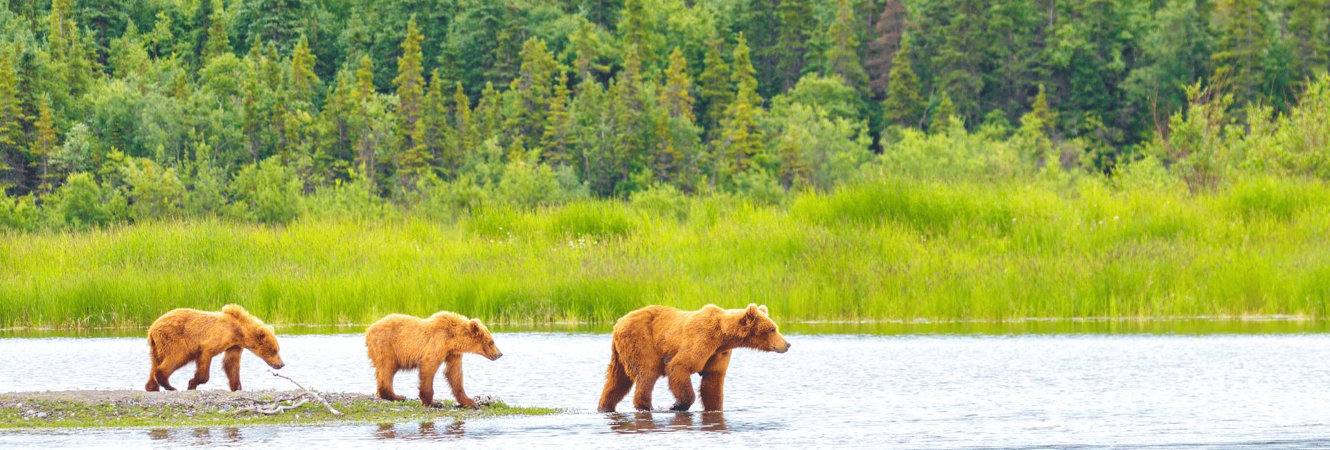 Oplev bjørnelivet på din rejse til Alaska med Risskov Rejser
