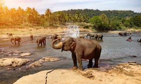 Badende elefant fra Pinnawala på Sri lanka - Risskov Rejser