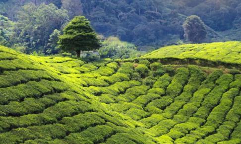 Teplantage i højlandet på Sri Lanka - Risskov Rejser