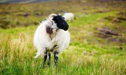 Græssende får i Irland