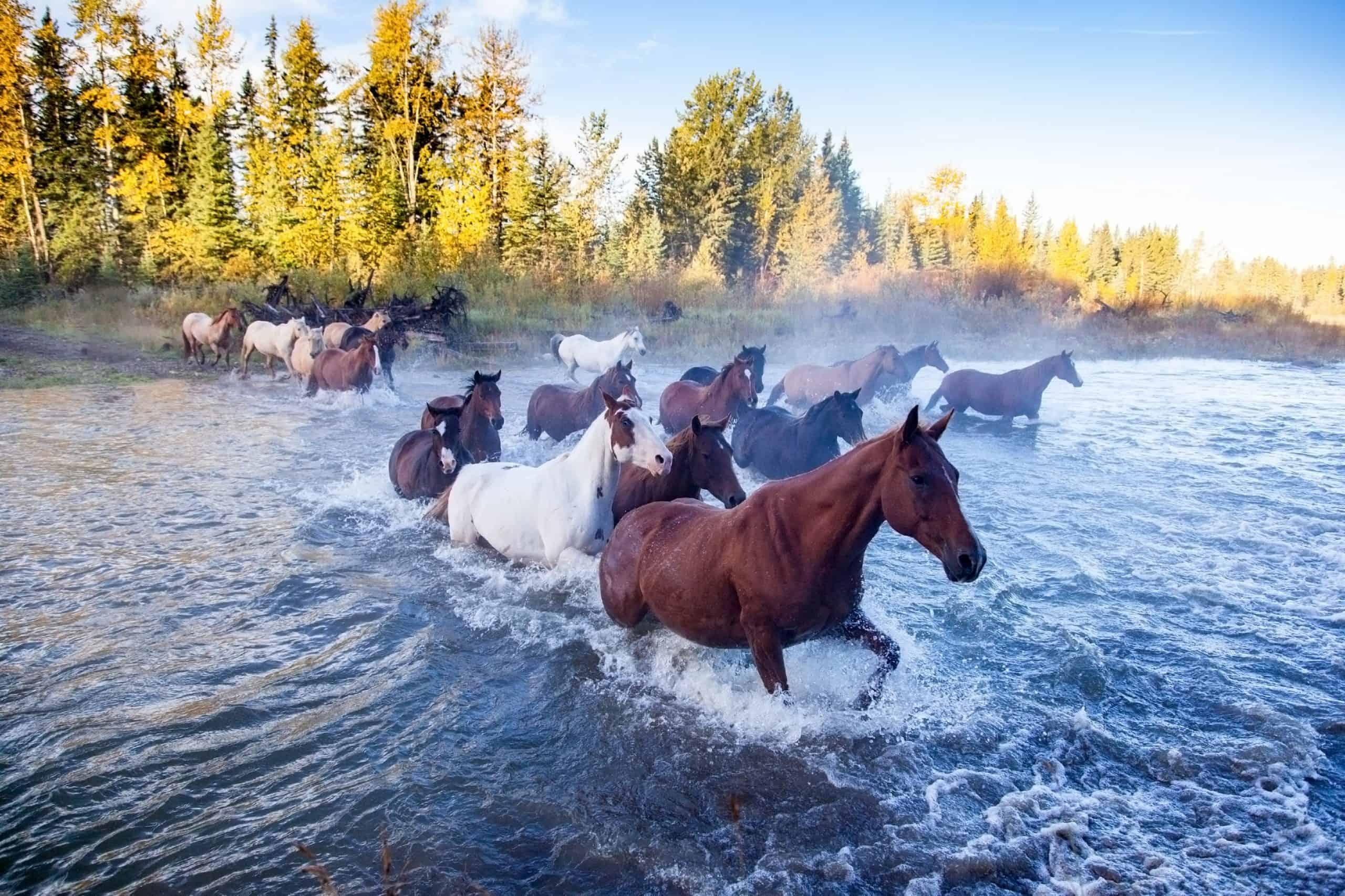 Heste krydser flod i Canada