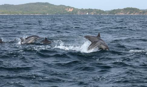 Legende delfiner på Sri Lanka - Risskov Rejser