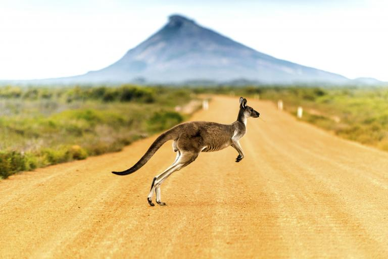 Hoppende kænguru i Australien - Risskov Rejser