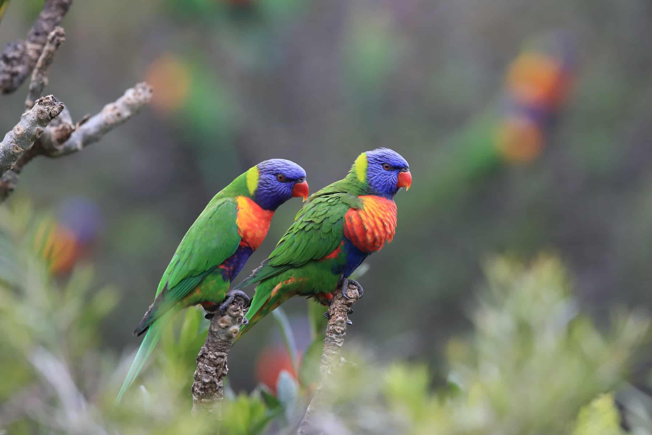 Papegøjer i Rainbow Jungle i Australien