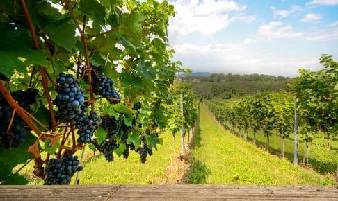 Friske vindruer i vinområdet Castelli Romani