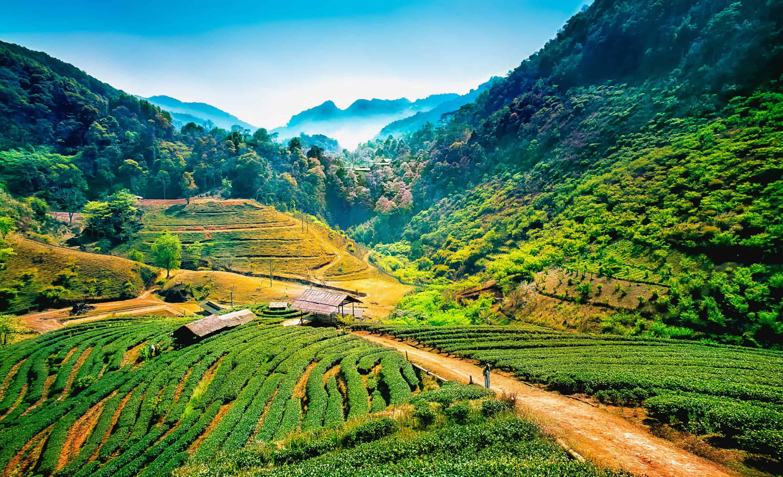 Teplantager i Chang Mai-området