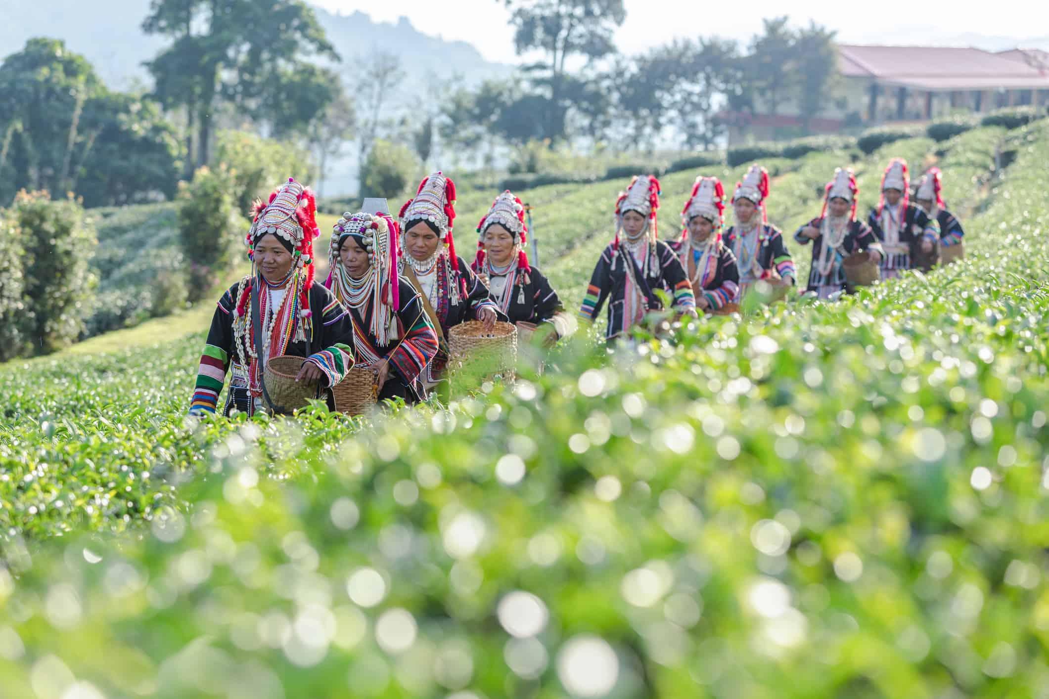 Medlemmer af Akha-stammen i teplantagerne i Chiang Rai