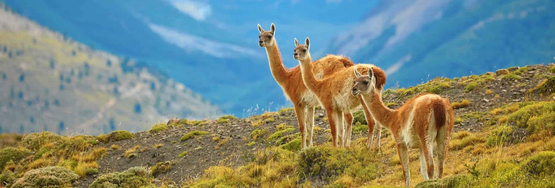 Lamaer i Argentina