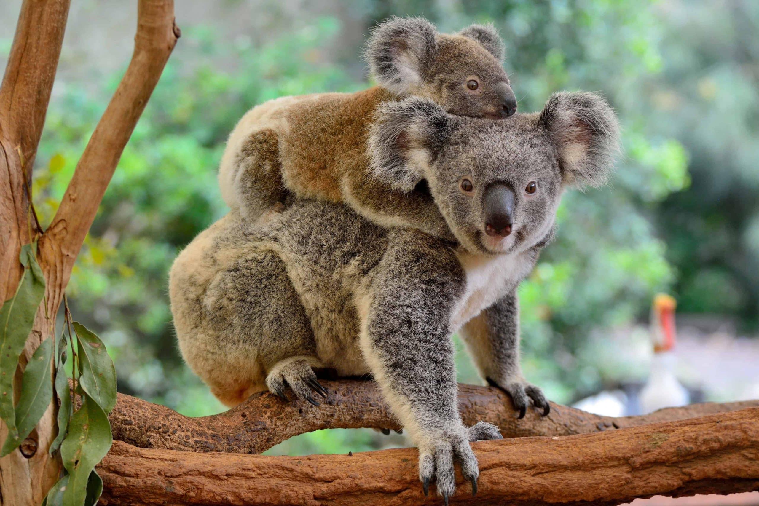 Koala, Australien - Risskov Rejser